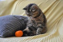 Exotisk shorthairkatt på den gula soffan arkivbild