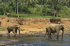 Exotisk skogdjungel med lösa stora elefanter som spelar i floden Arkivfoto