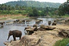 Exotisk skogdjungel med lösa stora elefanter som spelar i floden Arkivbild