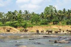 Exotisk skogdjungel med lösa stora elefanter som spelar i vatten Royaltyfria Bilder