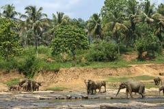 Exotisk skogdjungel med lösa stora elefanter som spelar i vatten Arkivfoton