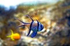 Exotisk tropisk fisk för Banggai cardinalfish på korallbakgrund Royaltyfri Bild