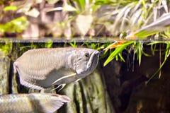 Exotisk tropisk fisksilver Arowana i naturlig ekologisk enviro royaltyfri fotografi