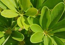 Exotisk tropisk grön bladväxt Arkivfoto