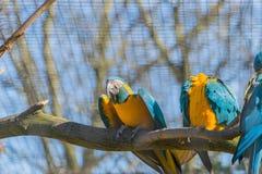 Exotisk tropisk guling och blått mekaniskt säga efter sammanträde på filial av trädet parkerar in royaltyfria bilder