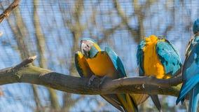 Exotisk tropisk guling och blått mekaniskt säga efter sammanträde på filial av trädet parkerar in royaltyfri foto