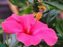 Exotisk tropisk rosa hibiskusblomning royaltyfria bilder