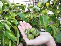Exotisk växtActinidia - frukter royaltyfria foton