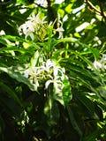 Exotisk vit blomma för tobakväxt royaltyfria foton