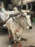 Exotisk vit ko med stora horn och orange målarfärg Arkivbilder