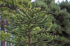 Exotiska barrträd i parkera Royaltyfria Bilder