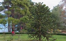 Exotiska barrträd i parkera Arkivbild