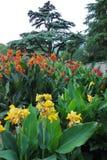 Exotiska blommor av gula och röda blommor med mycket stora frodiga och breda sidor som växer så att bakifrån dem dig Arkivfoto