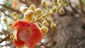 Exotiska blommor och träd Farlig stor kraftig grön tropisk trädcannonballsalalanga som blommar den härliga apelsinen stock video