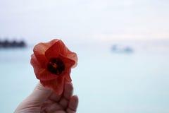 Exotiska blommor på den Maldiverna semesterortön Arkivfoton