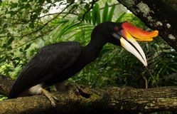 Exotiska fåglar av världen Det malajiska gomray - den största arten av hornbills arkivbild
