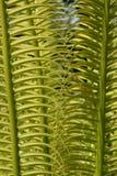 exotiska ferns tropiska fiji Royaltyfri Foto