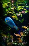 exotiska fiskar för akvarium Fotografering för Bildbyråer
