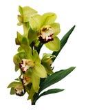 Exotiska gröna orkidér för bukett Fotografering för Bildbyråer