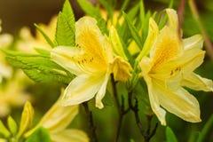 Exotiska gula rhododendronblommor som är nära upp bakgrund royaltyfria foton