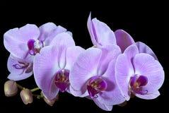 Exotiska knoppar och rosa blommor av Phalaenopsisnollan Arkivbild