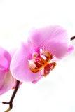 exotiska orchids Arkivbild