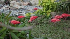 Exotiska rosa fåglar finner mat i gräset av den tropiska skogen, fauna av djungeln, härliga fåglar, ljusa färger stock video