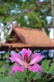 Exotiska rosa Lily Tree Flower i en thailändsk stilträdgård Royaltyfri Fotografi