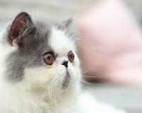 Exotiska Shorthair Royaltyfri Fotografi