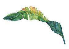 Exotiska tropiska banansidor Royaltyfria Foton