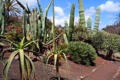 Exotiska växter i botanisk trädgård i den Fuerteventura ön royaltyfria bilder