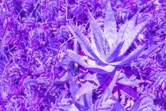 Exotiska växtpalmblad stänger sig upp i purpurfärgad blå lutningsignal för duett i vibrerande moderiktiga färger Begreppsmodekons arkivfoton