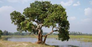 Exotiskt Banyanträd (Norokhadok Brikkho) royaltyfria bilder
