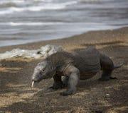 Exotiskt djur för Komodo öIndonesien drake Fotografering för Bildbyråer