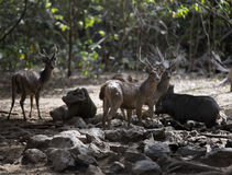 Exotiskt djur för Komodo öIndonesien drake Royaltyfria Bilder