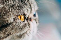 Exotiskt foto för makro för Shorthair kattavel closeupkatthuvud med det orange ögat fotografering för bildbyråer
