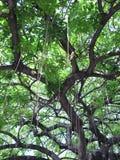 Exotiskt träd i Miami, Florida Royaltyfri Bild