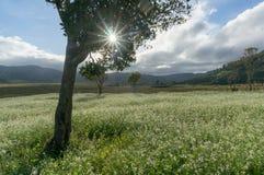 expõe ao sol e as árvores e o campo da mostarda com a flor branca em DonDuong - Dalat- Vietname imagens de stock