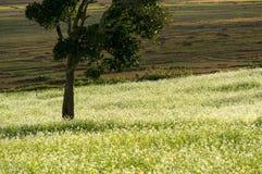expõe ao sol e as árvores e o campo da mostarda com a flor branca em DonDuong - Dalat- Vietname fotografia de stock