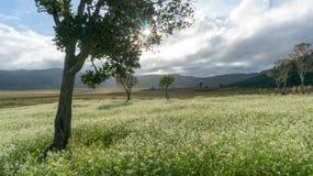 expõe ao sol e as árvores e o campo da mostarda com a flor branca em DonDuong - Dalat- Vietname imagem de stock