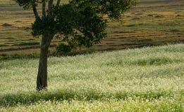 expõe ao sol e o campo da mostarda com a flor branca em DonDuong - Dalat- Vietname fotos de stock