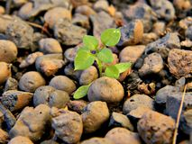 Expanded clay through which germinates a green sprout stock images