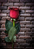 Expanded scented rose on wicker wooden matting Royalty Free Stock Images