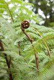 Expanding young fern. Dicksonia blumei planche, growing outdoors Royalty Free Stock Photo