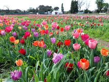 Expanse of colorful tulips in the spring meadow. Beautiful sunny March day. A thousand colors of Dutch tulips. Expanse colorful tulips spring meadow beautiful royalty free stock photos