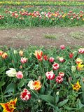 Expanse of colorful tulips in the spring meadow. Beautiful sunny March day. A thousand colors of Dutch tulips. Expanse colorful tulips spring meadow beautiful stock photo