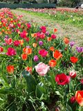 Expanse of colorful tulips in the spring meadow. Beautiful sunny March day. A thousand colors of Dutch tulips. Expanse colorful tulips spring meadow beautiful royalty free stock photo