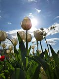 Expanse of colorful tulips in the spring meadow. Beautiful sunny March day. A thousand colors of Dutch tulips. Expanse colorful tulips spring meadow beautiful stock photography