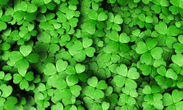 Expanse of four-leaf clovers Stock Images