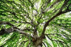 Expanse of a Large Tree Stock Image